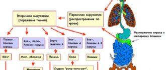 Схема патогенеза энтеровирусной инфекции
