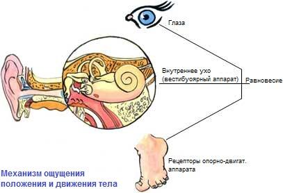 Механизм ощущения положения тела