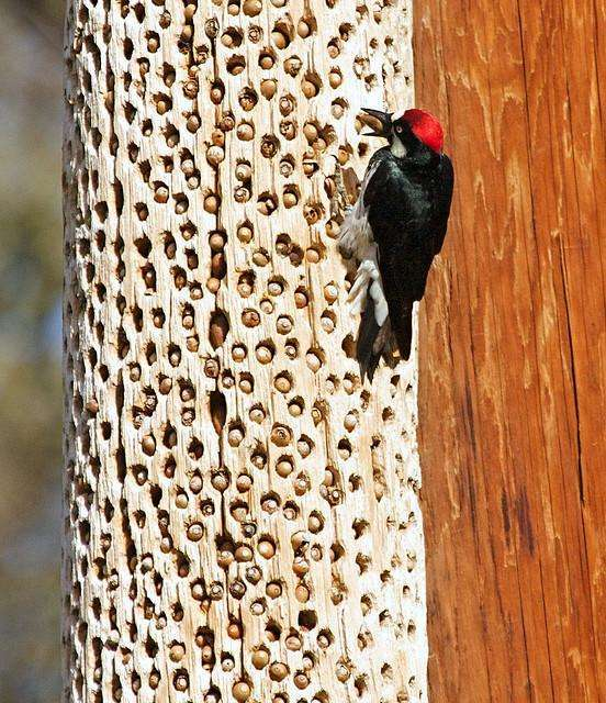 Фото трпипофобии – дерево с дятлом