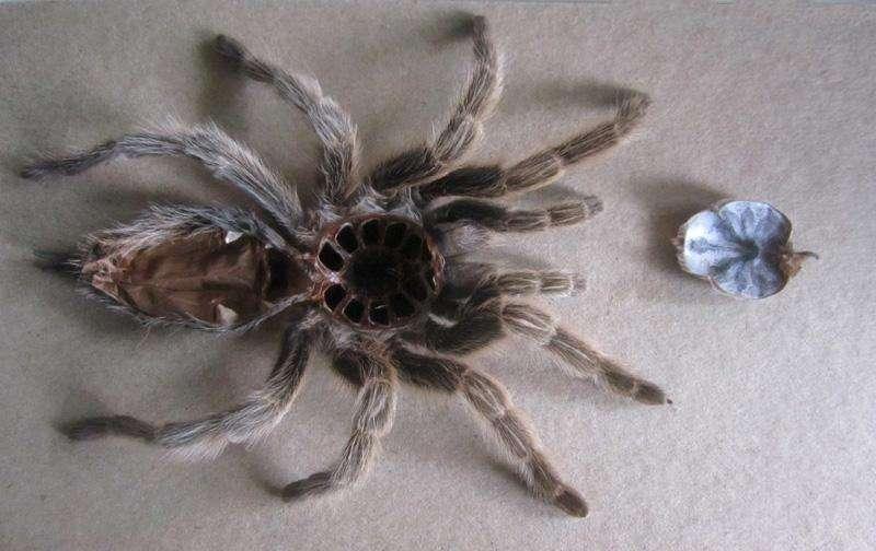 Фото трпипофобии – засохший тарантул