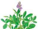 Растение для снижения аппетита и похудения