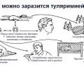 Туляремия: виды, симптомы, причины, профилактика