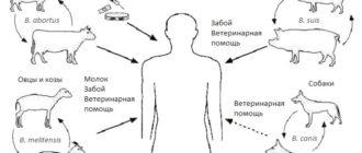 Схема заражения разными возбудителями бруцеллеза