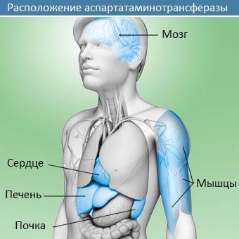 Расположение аспартатаминотрансферазы в организме
