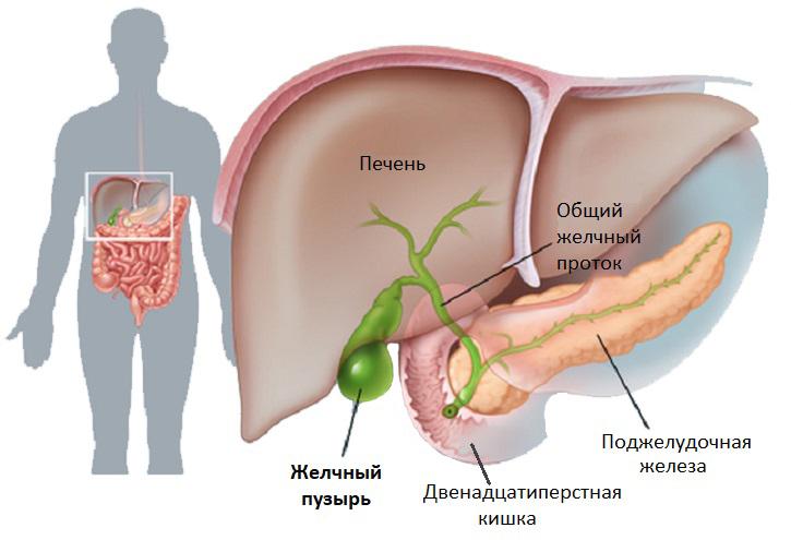 Анатомия желчевыделительной системы